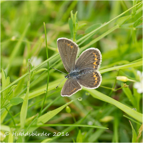 Silver Studded Blue Female