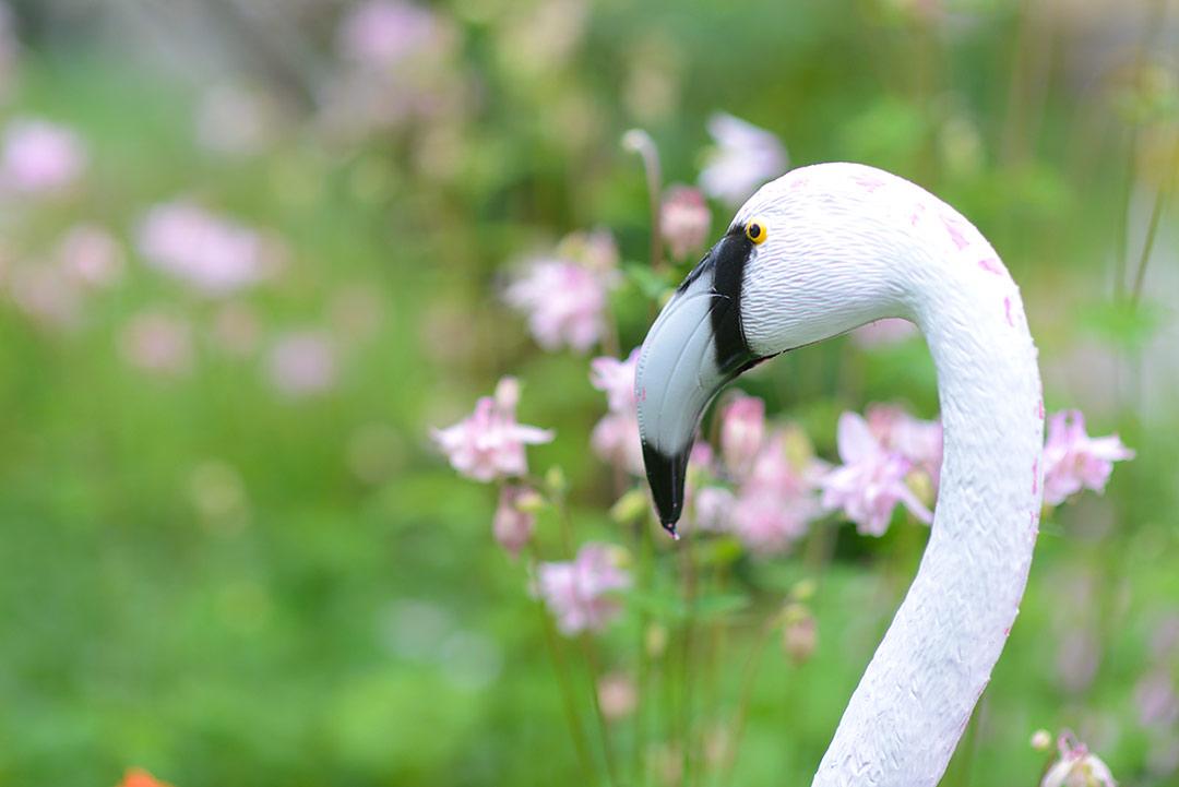 Mr Flamingo checking out the aquilegias