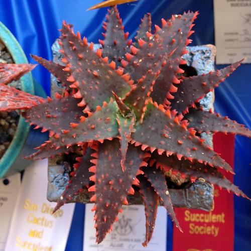 Aloe Xmas Sleigh San Diego Cactus And Succulent