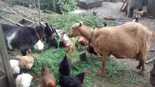 goats May 16 (7)