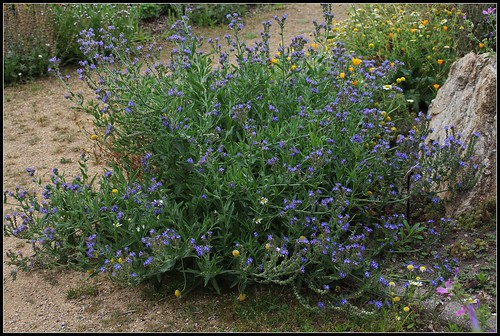 Anchusa arvensis (= Lycopsis arvensis) - buglosse des champs  28087130461_a17b8b3e6d