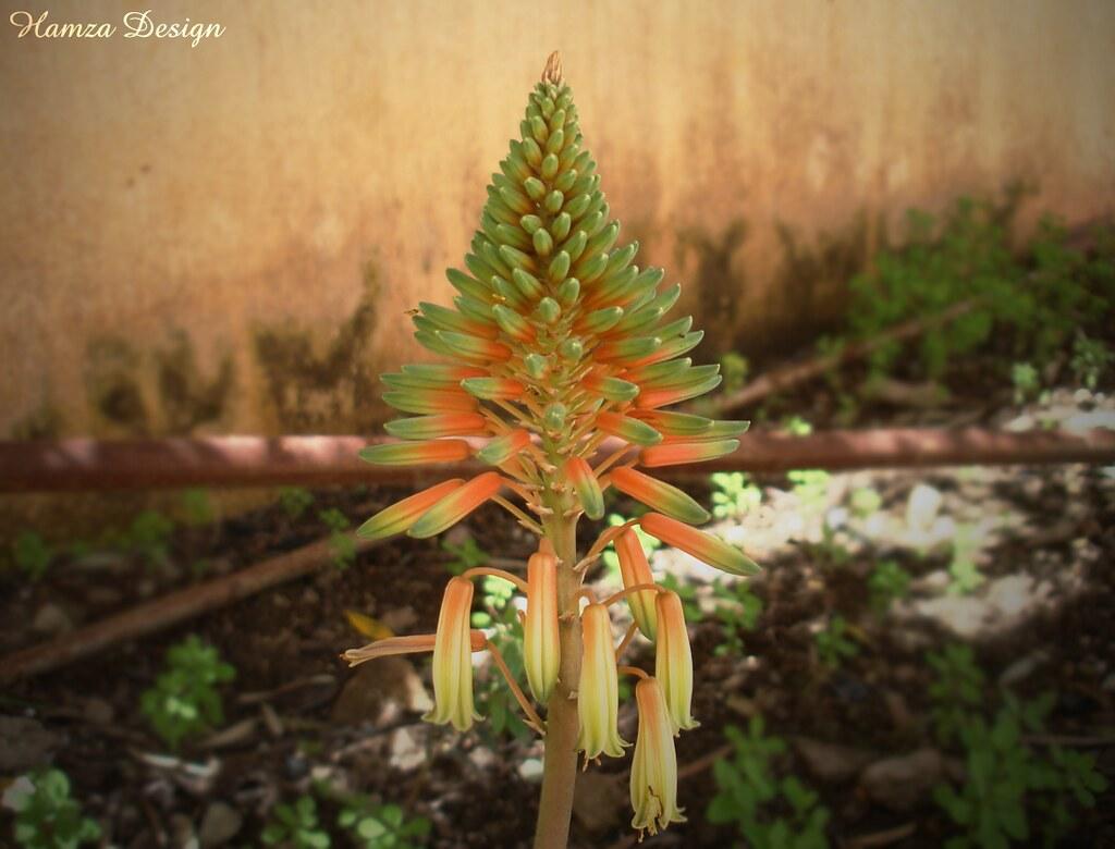 flwor  flower pyramid jardin  hamza design  flickr, Beautiful flower