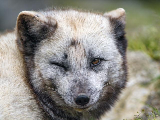 Winking polar fox