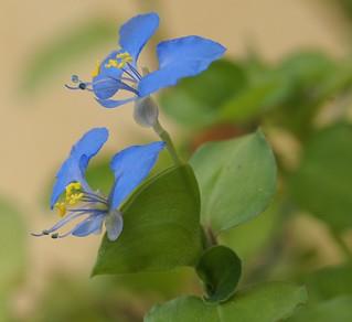 Commelina benghalensis - herbe à cochon 27528205992_2b8a7fd125_n