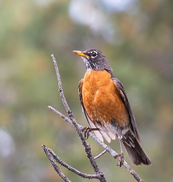 Robin-16-7D2-010716