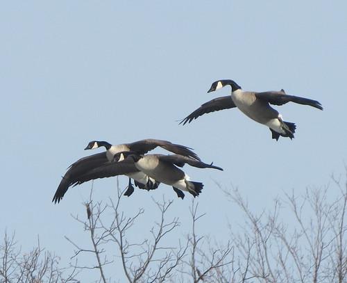 Canada Geese (landing)...