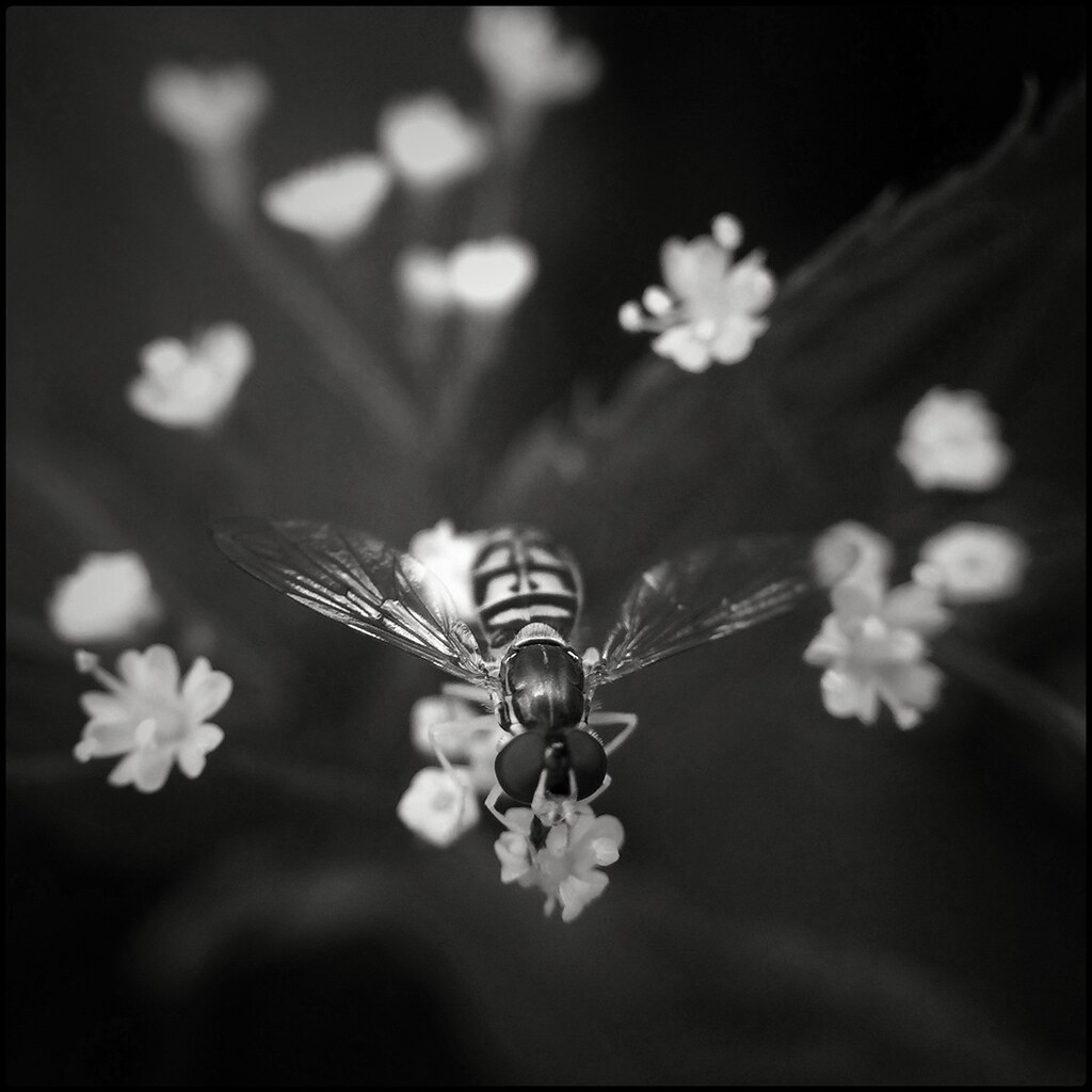 Hover Fly on Blooms -BW 25/52