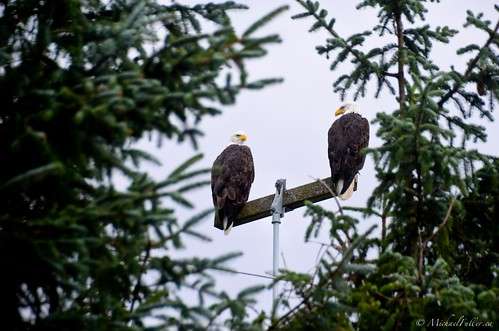 Bald eagles are everywhere on Haida Gwaii | by mrfuller