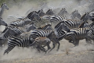 Zebras running in the Serengeti | by diana_robinson