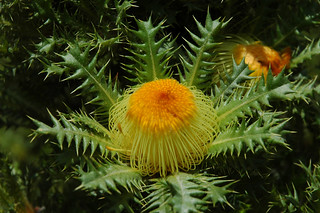 Cactus Dryandra ~ Banksia anatona | by Australian Network for Plant Conservation