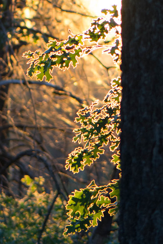 Black Oak at Sunset