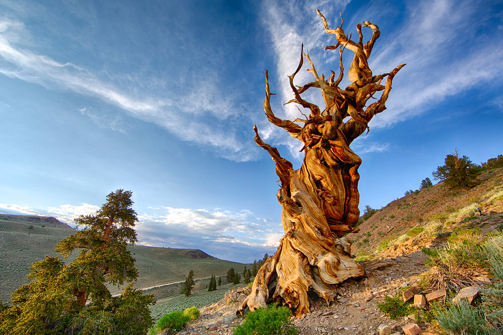 Methuselah tree