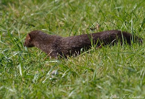 Mustela vison (American Mink)