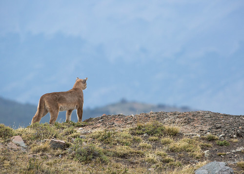 Mountain lion, Torres del Paine, Chile | by Free pictures for conservation