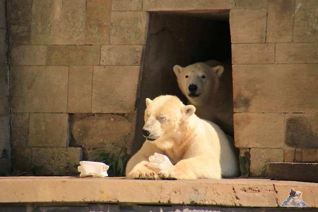 Eisbär Fiete im Zoo Rostock 04.06.2016   0256