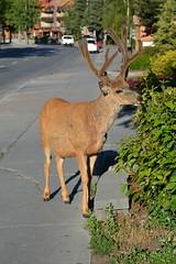 Close Up Deer