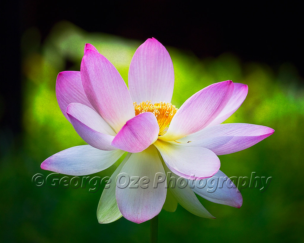 Blooming lotus flower close up view of a blooming lotus fl flickr blooming lotus flower by george oze izmirmasajfo