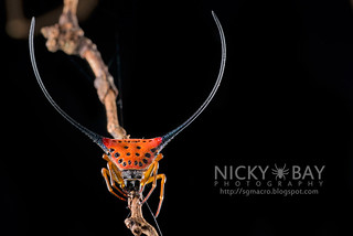 Spiny Back Orb Weaver (Macracantha arcuata) - DSC_3295 | by nickybay