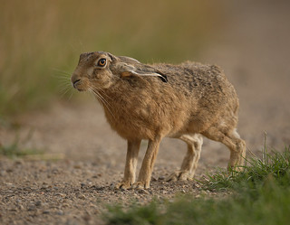 Brown Hare looking with ears down Lepus europaeus | by mikejrae