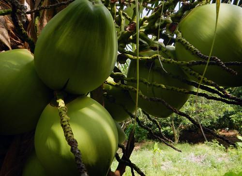 for Vietnamese Tet, the coconut, known as 'Dua' symbolizes 'Enough'