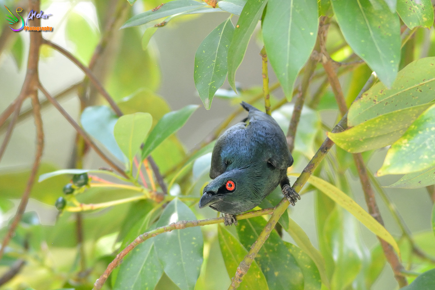 Asian_Glossy_Starling_7605