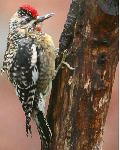 how to get rid of yellow bellied sapsucker