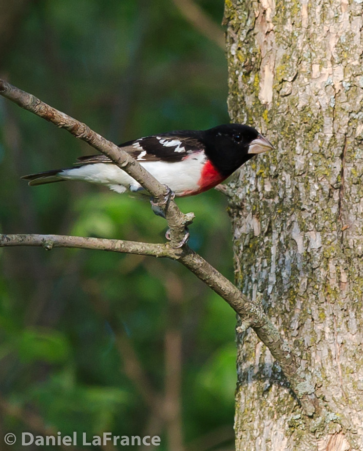 Rose-breasted Grosbeak (DOL-9444)
