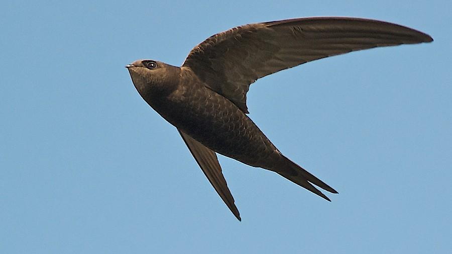 Bukan Elang, Inilah Burung Paling Tangguh di Dunia, Sanggup Terbang 10 Bulan Tanpa Henti