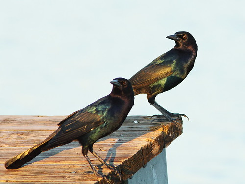 Boat-tailed Grackles 2-20131014