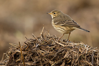 Buff Bellied Pipit | by grahamm2143