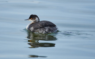 Eared Grebe | by chloesview