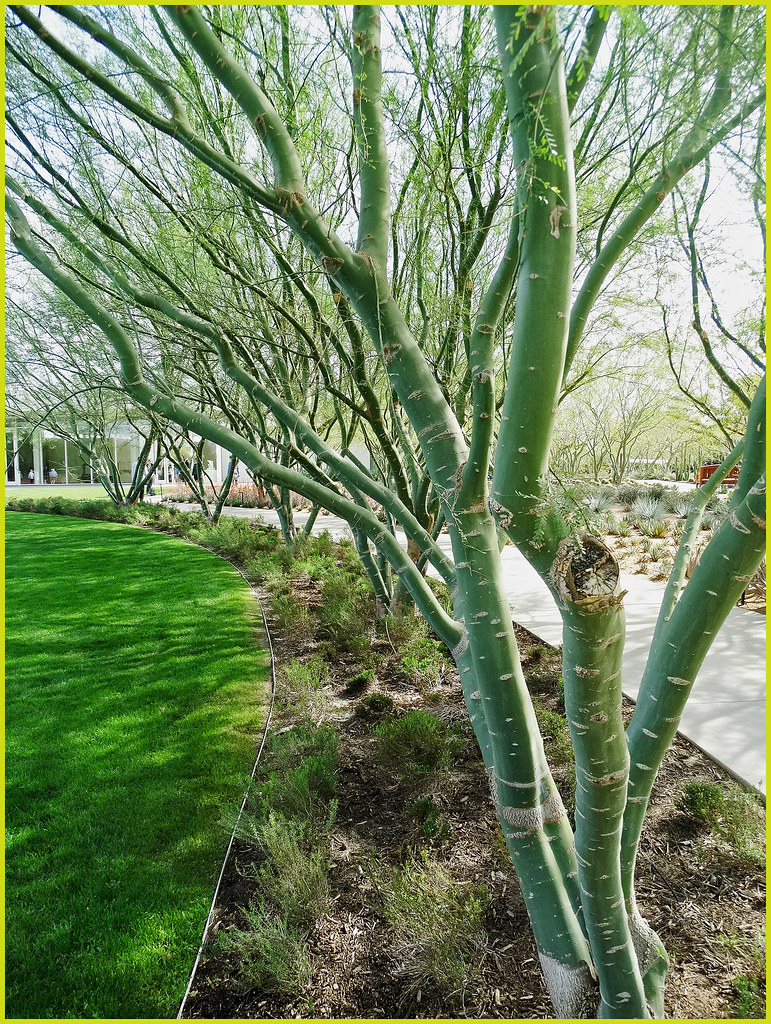 Palo Verde Trees 2 22 14a 1 In A Multiple Picture Set Th Flickr
