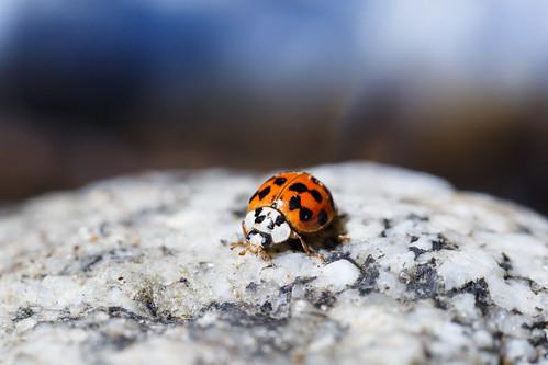 Ladybug in Big Sur River