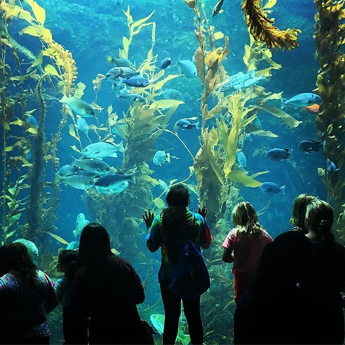 Giant Kelp Tank