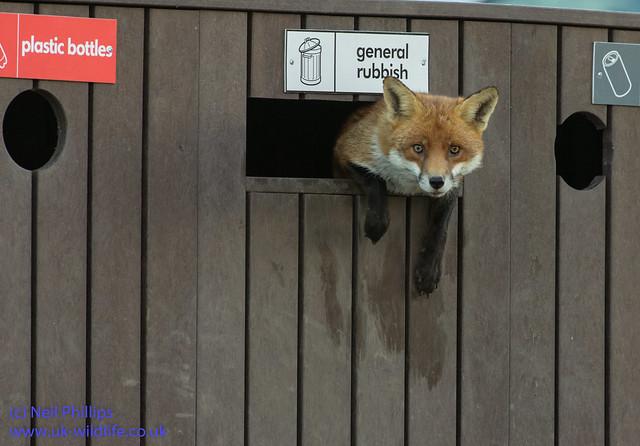 fox in a bin
