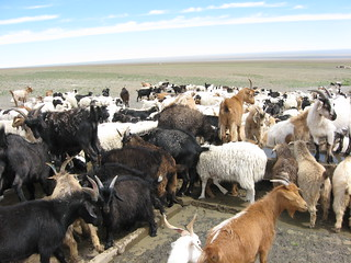 Overgrazing in Mongolia | by Oregon State University