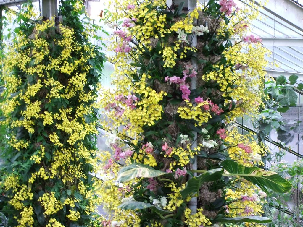 orchid kew festival 2014 part 9 of 12 orchid pillars u2026 flickr