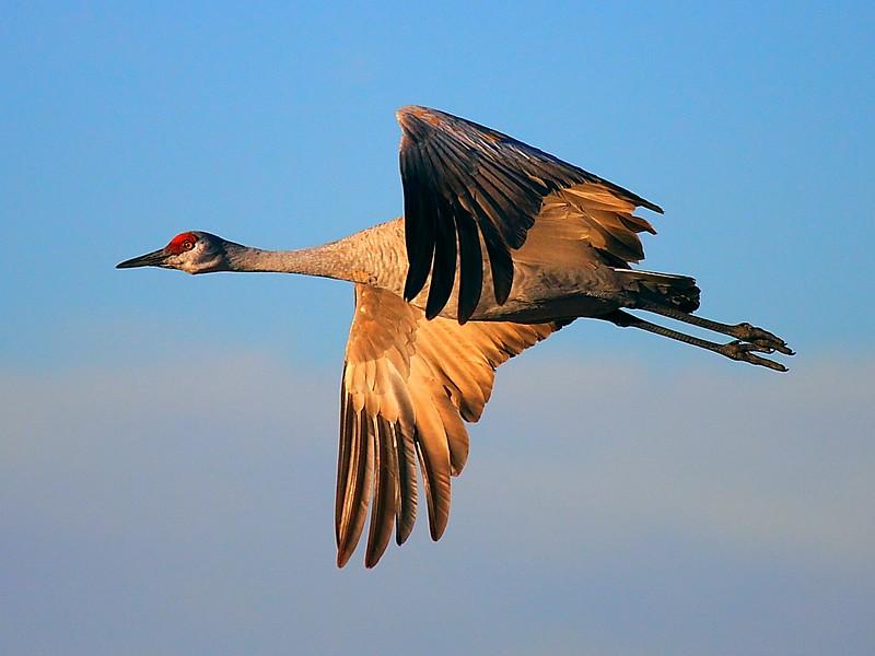 IMG_6352 Sandhill Crane, Bosque del Apache National Wildlife Refuge
