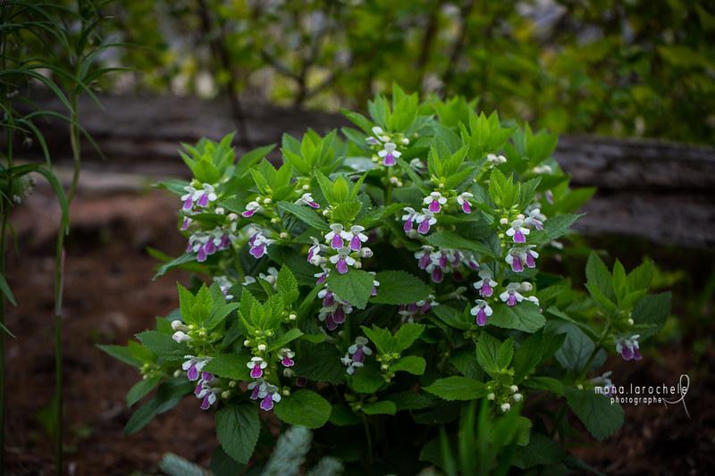 Melittis melissophyllum 'Royal Velvet Distinction' Rustique ?  27013618434_659b6c6871_c
