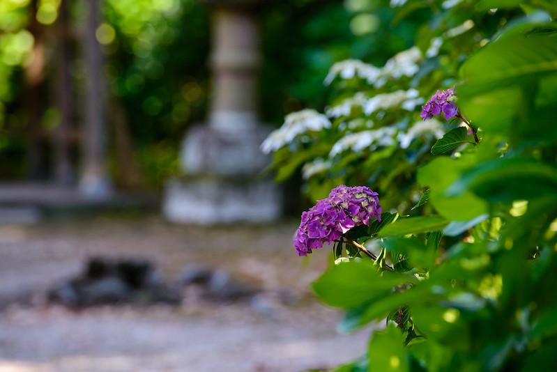 大神山神社 紫陽花 2016.6-19