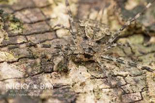 Two-Tailed Spider (Hersiliidae) - DSC_3393 | by nickybay