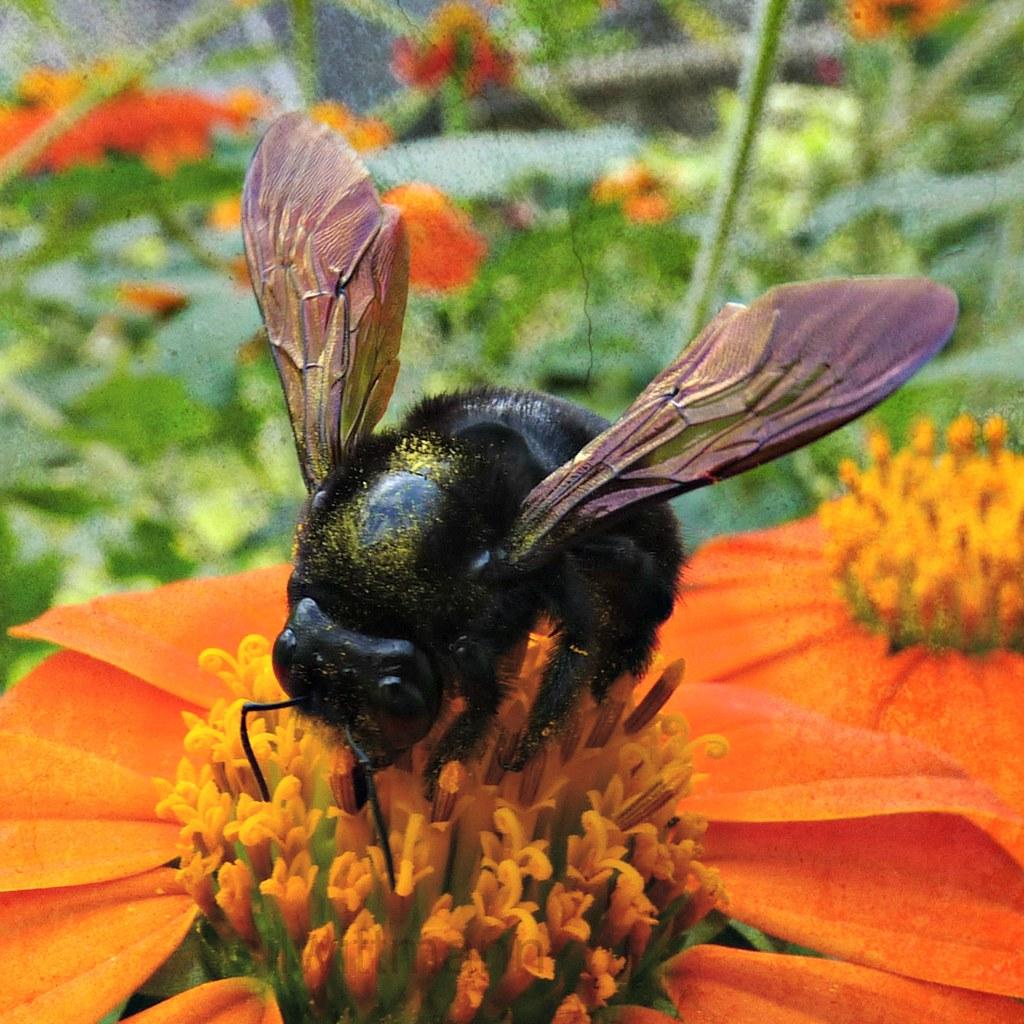 mamangava mamangaba bumblebee on mexican sunflower flickr
