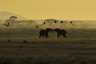 Two elephants doing a mock battle as Egyptian geese fly overhead | by diana_robinson
