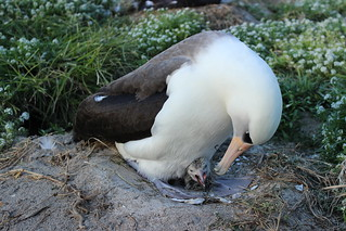Wisdom and her just hatched chick on Midway Atoll NWR. Photo credit: Ann Bell/USFWS | by USFWS Pacific