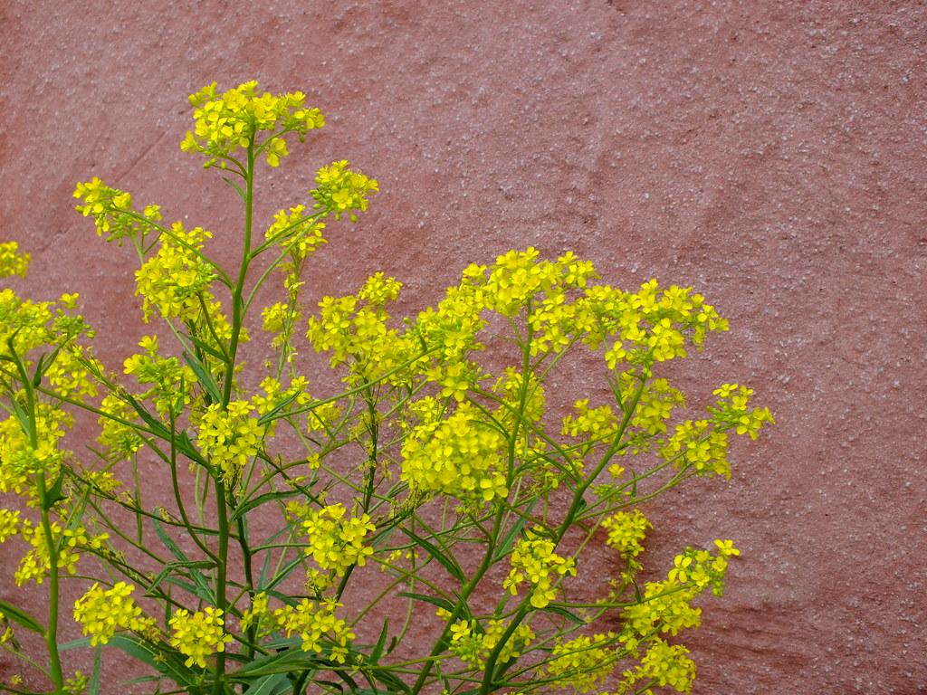 Yellow Flowers On Pink Wall Suomenlinna Fortress Helsinki Flickr