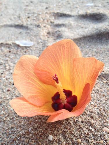 These flowers fall from trees all over the beach | by morgymango