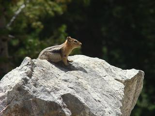 30 Eekhoorn - golden mantled ground squirrel