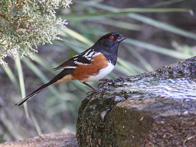 Spotted Towhee 20131102