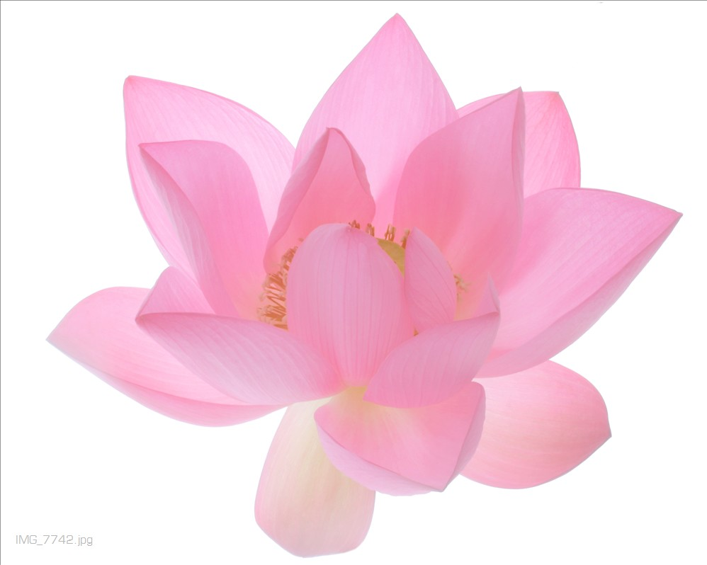 Lotus flower lotus flower bahman farzad flickr lotus flower by bahman farzad lotus flower by bahman farzad izmirmasajfo