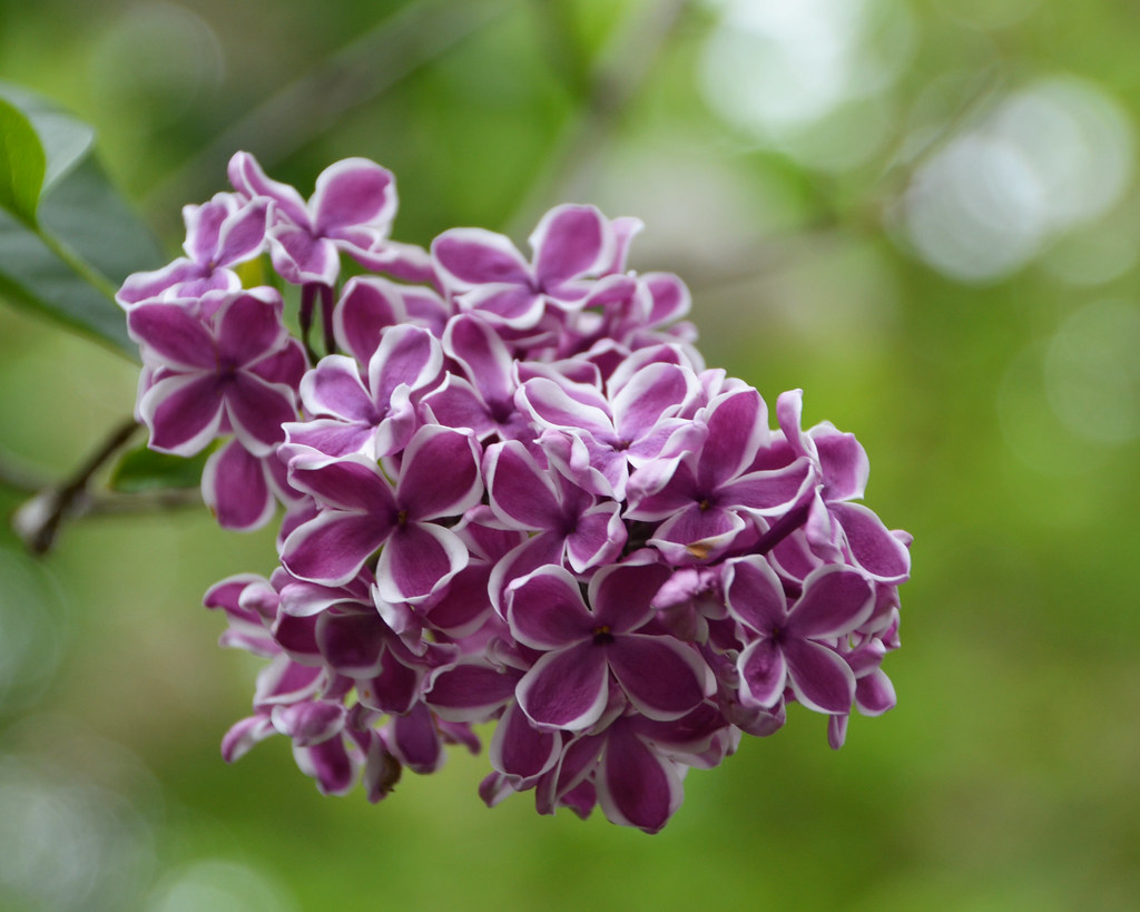 Dark Pink Lilac Flowers With White Edges Monceau Flickr